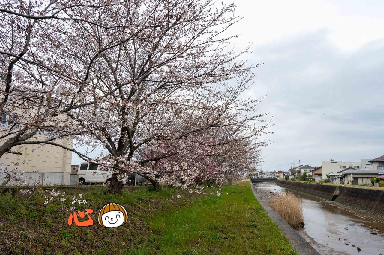0329桜②