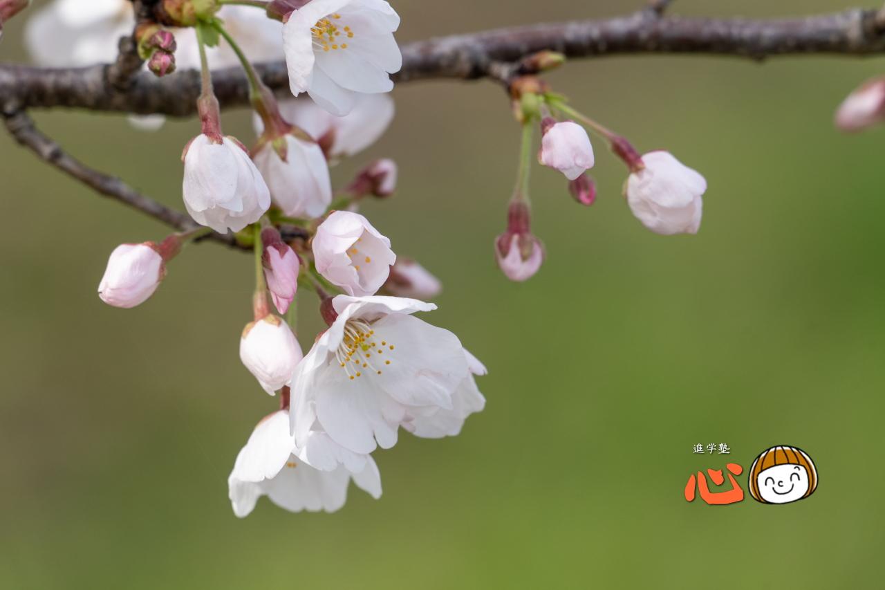 0329桜⑥