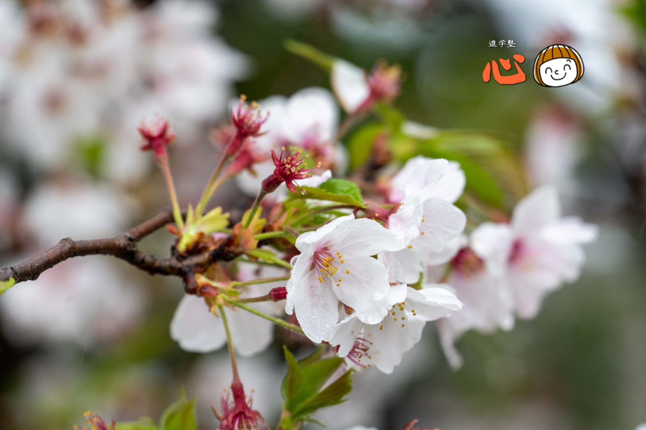 0404葉桜