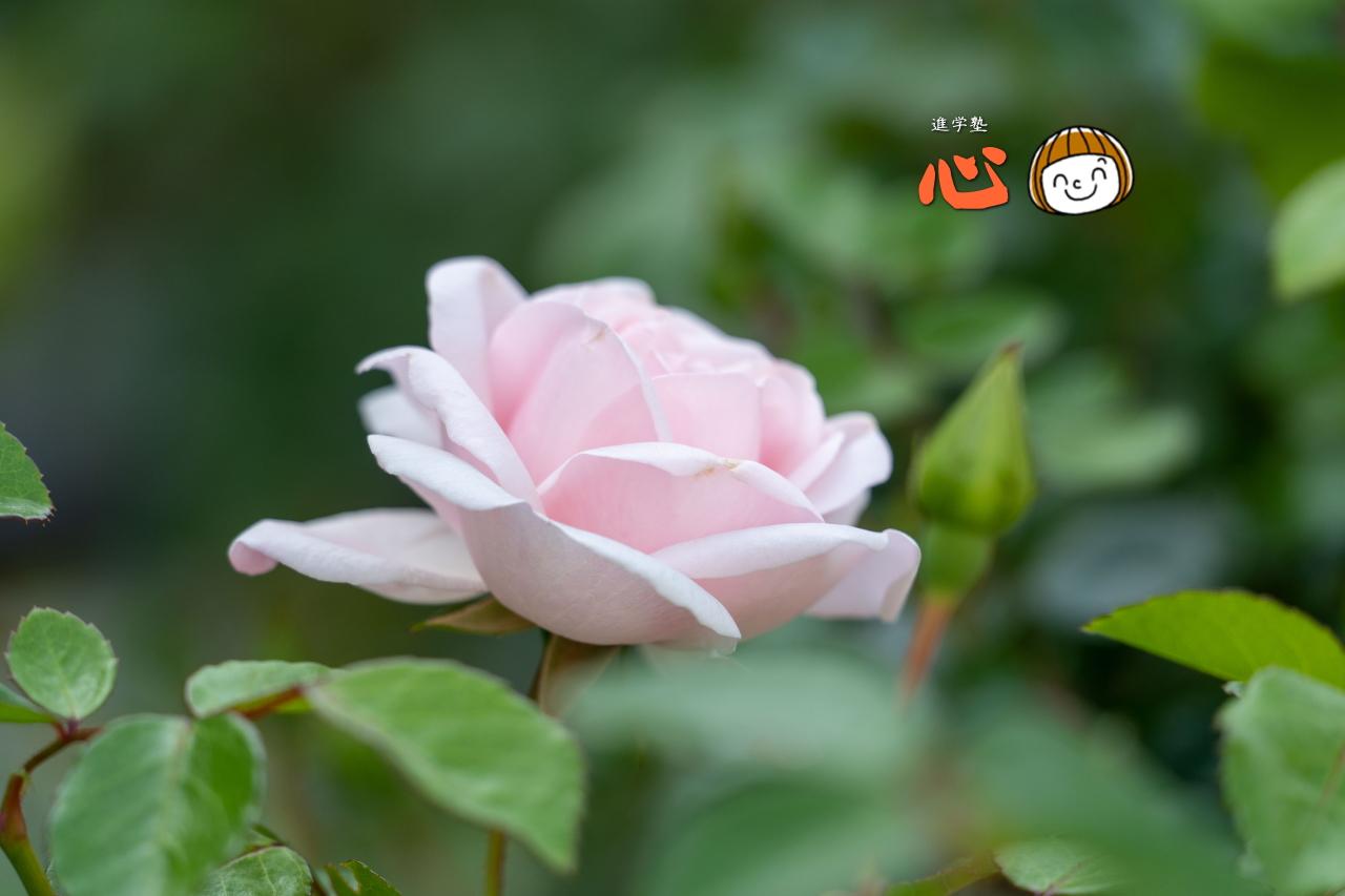 0511ピンクのバラ