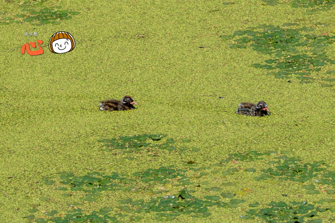 0617カイツブリのヒナ