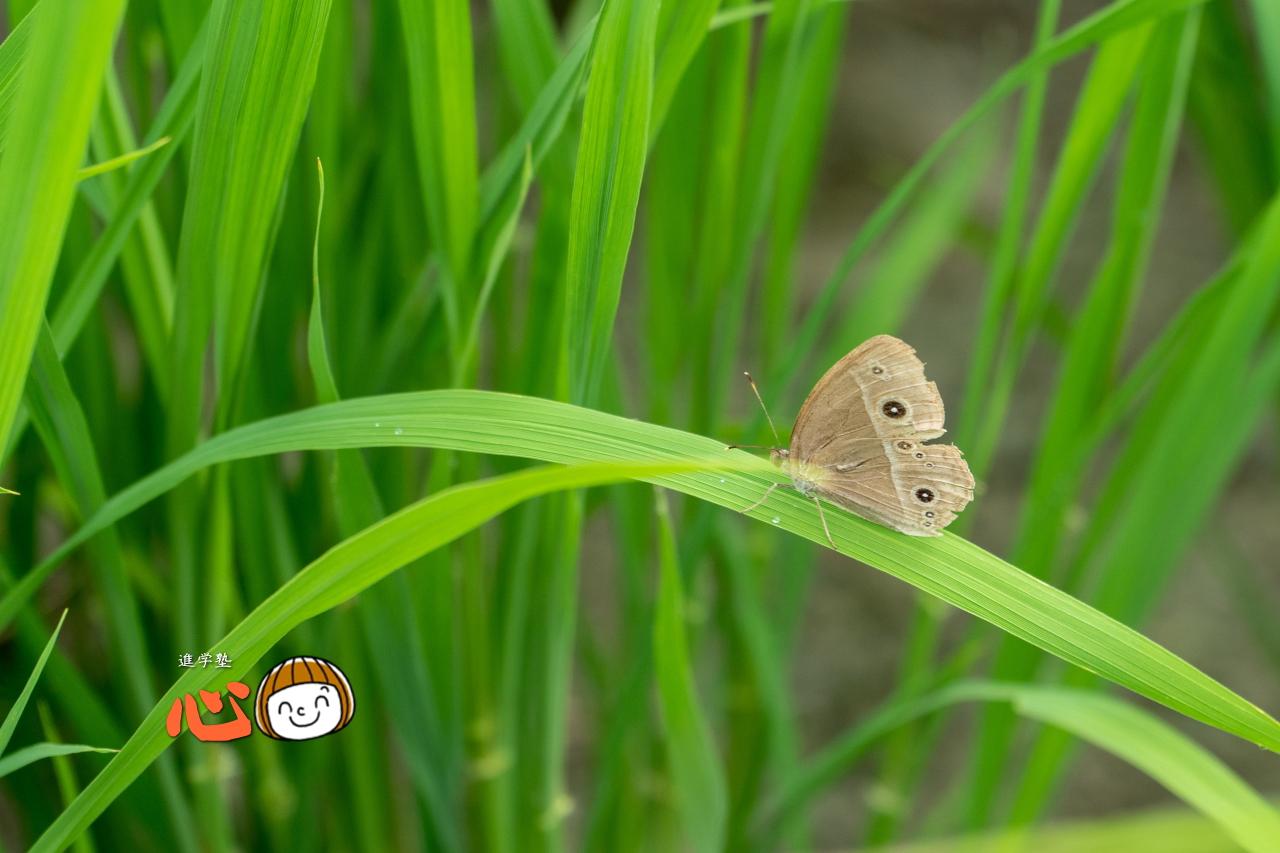 0628コジャノメチョウ