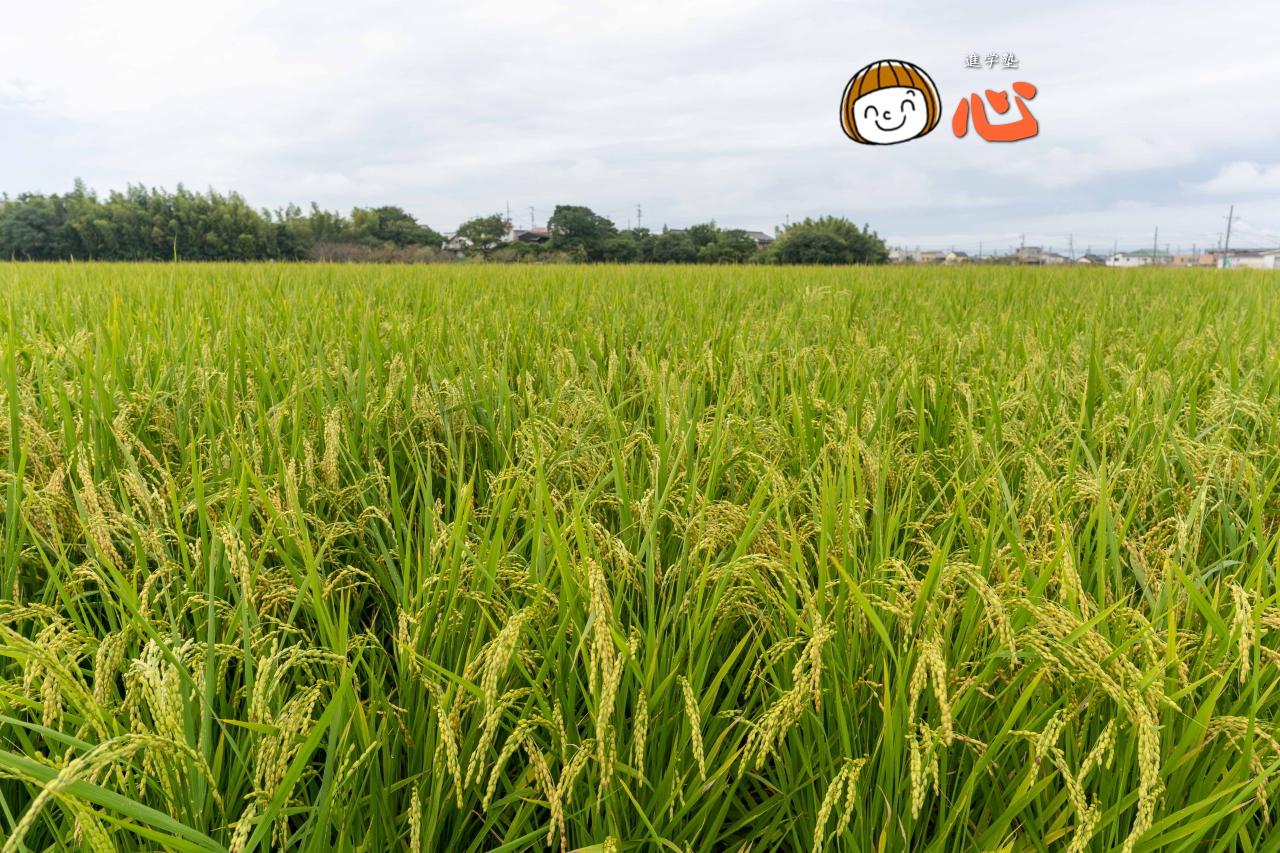 0909稲刈り直前の田んぼ
