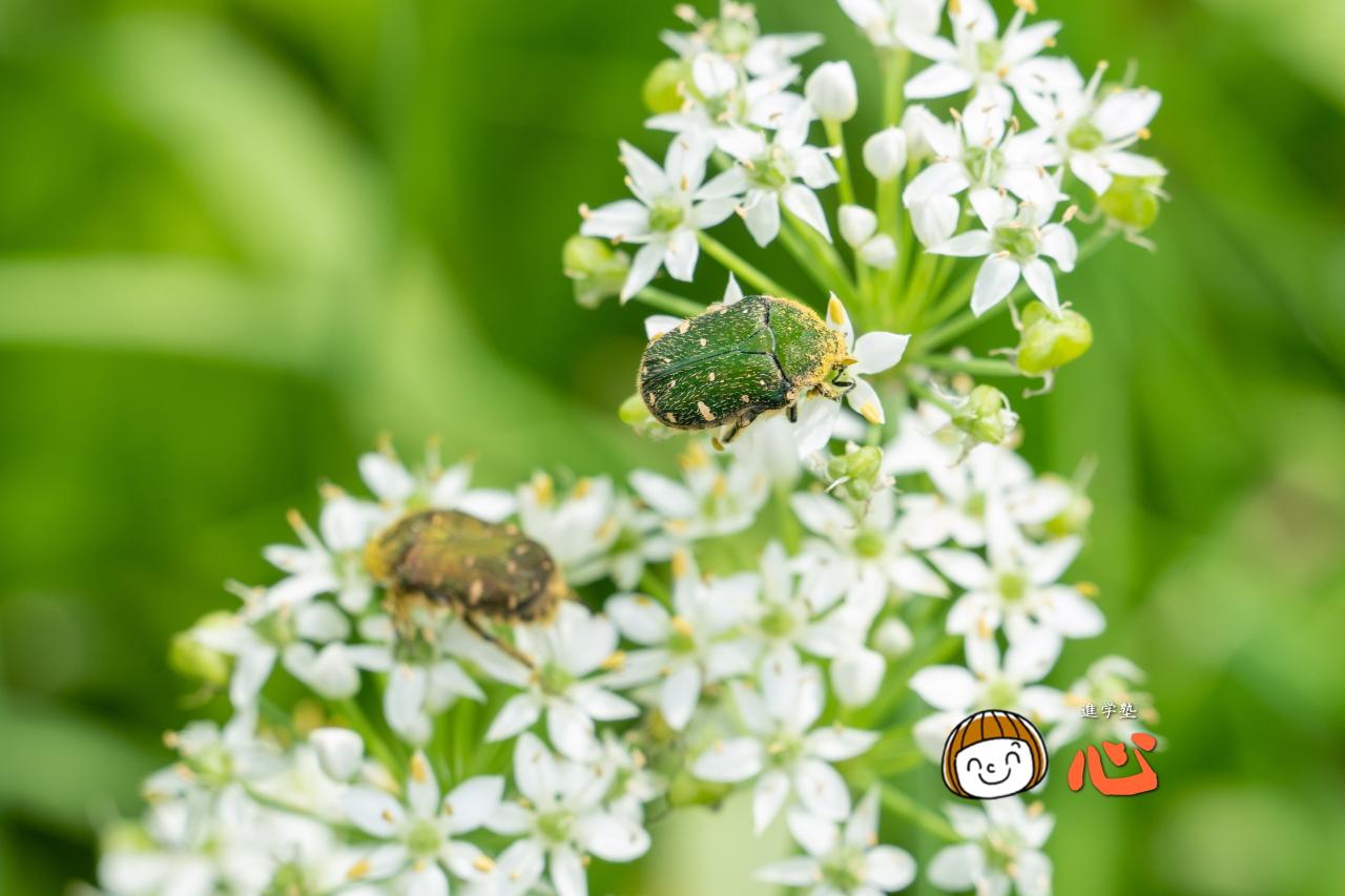 0913花粉まみれのハナムグリ