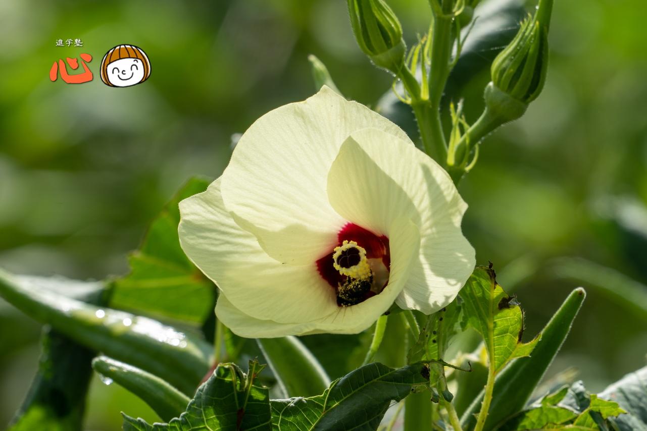 0915オクラの花