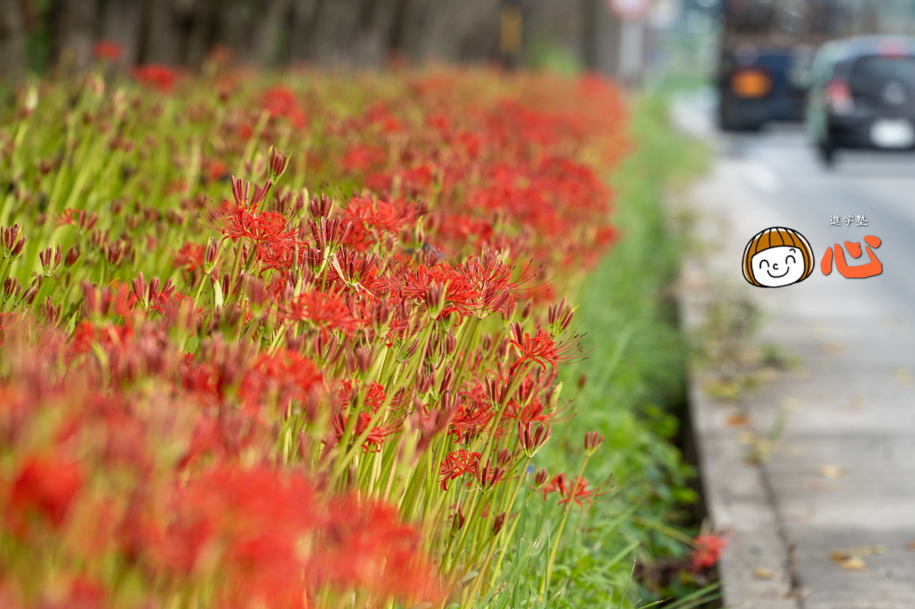 0916とこなめ桜ロードのヒガンバナ