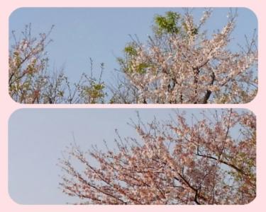 桜&葉桜 2021年3月