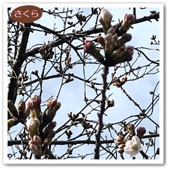 0317桜1