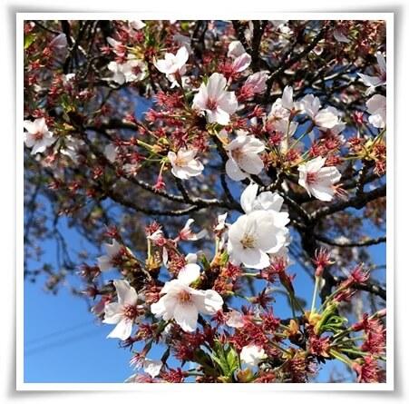 0405桜