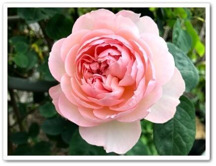 0512わが家のバラ