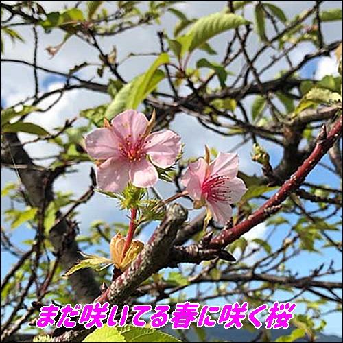 まだ咲いてる桜