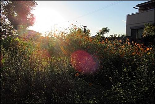 コスモスが夕日に照らされて
