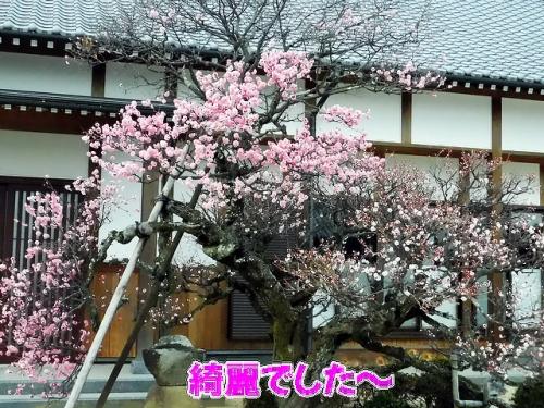 梅の木が綺麗