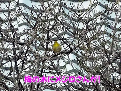 梅の木にメジロさんが