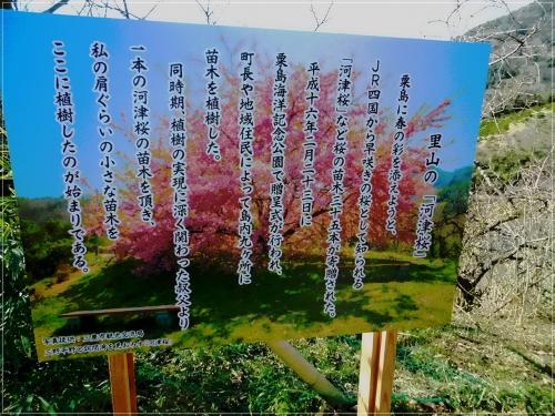 河津桜の由来