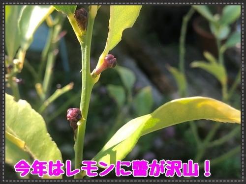 レモンの花の蕾