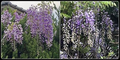 前のお宅の藤の花