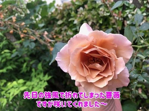 強風で折れたバラ