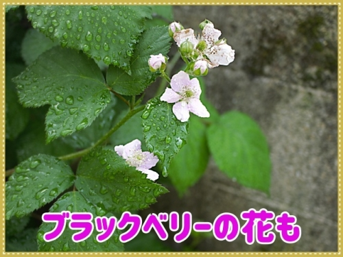 ブラックベリーの花も