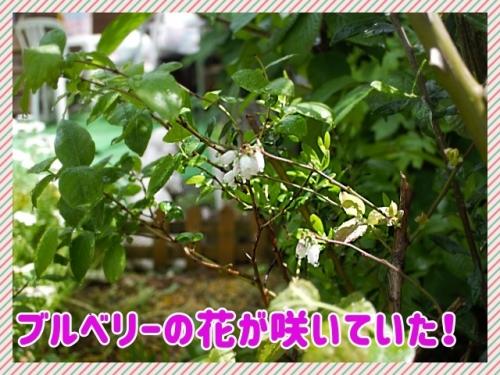 ブルベリー花が