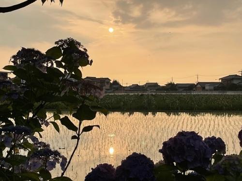 紫陽花とゆう日