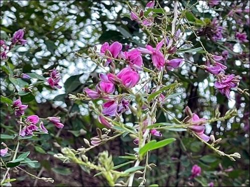 ピンクの萩