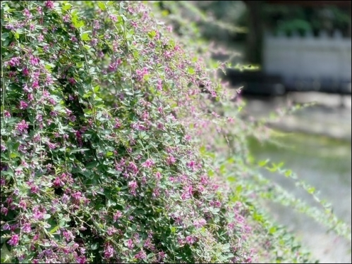 ピンクの萩の花