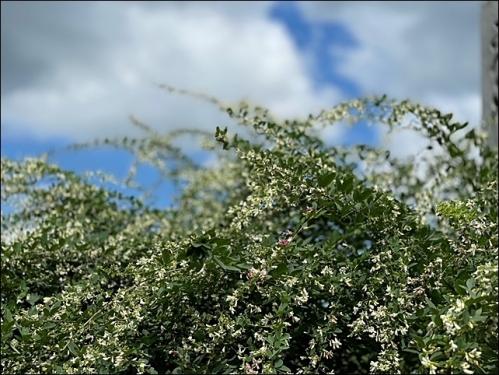 萩の花と空