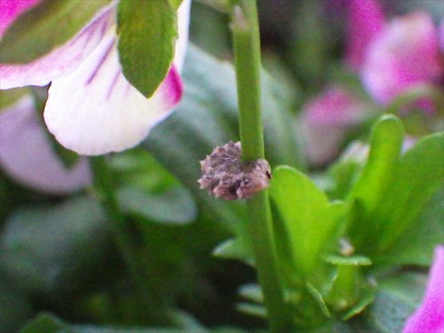 ハナアブの幼虫