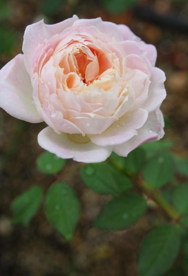 Rosa Sucre
