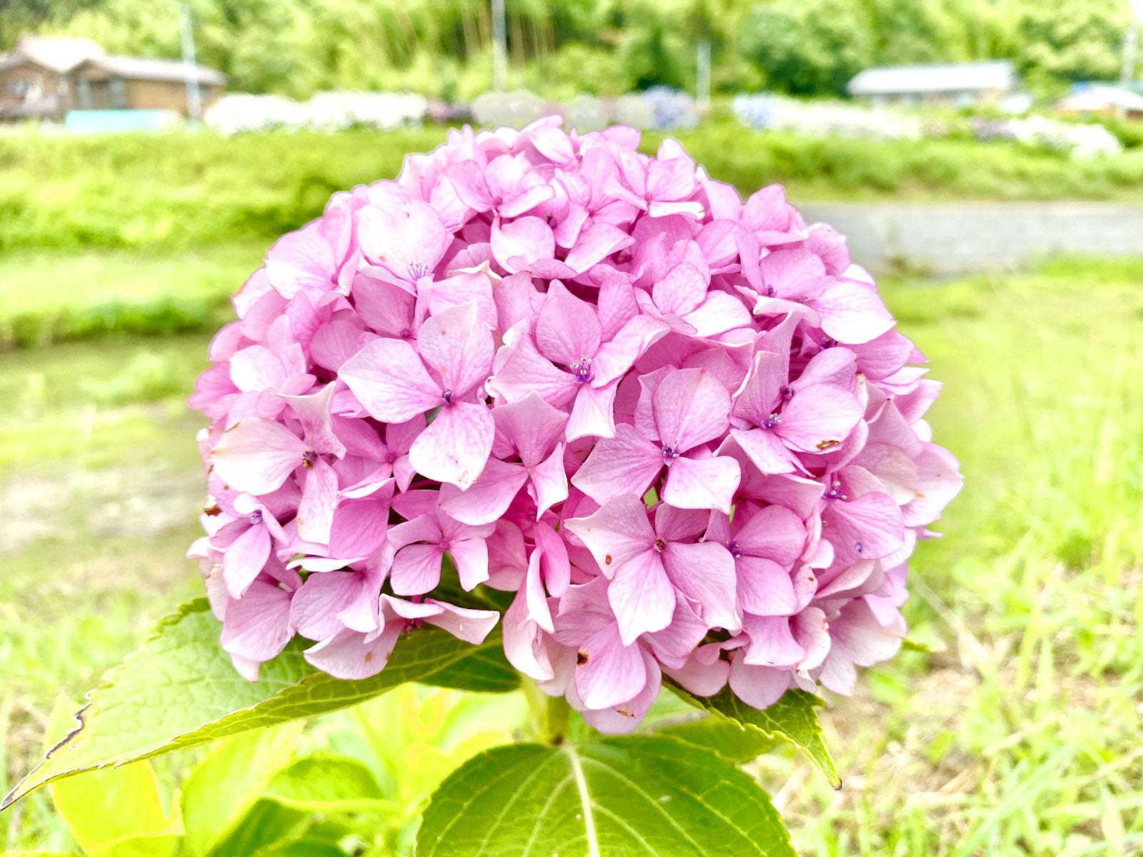 綺麗に咲いた紫陽花
