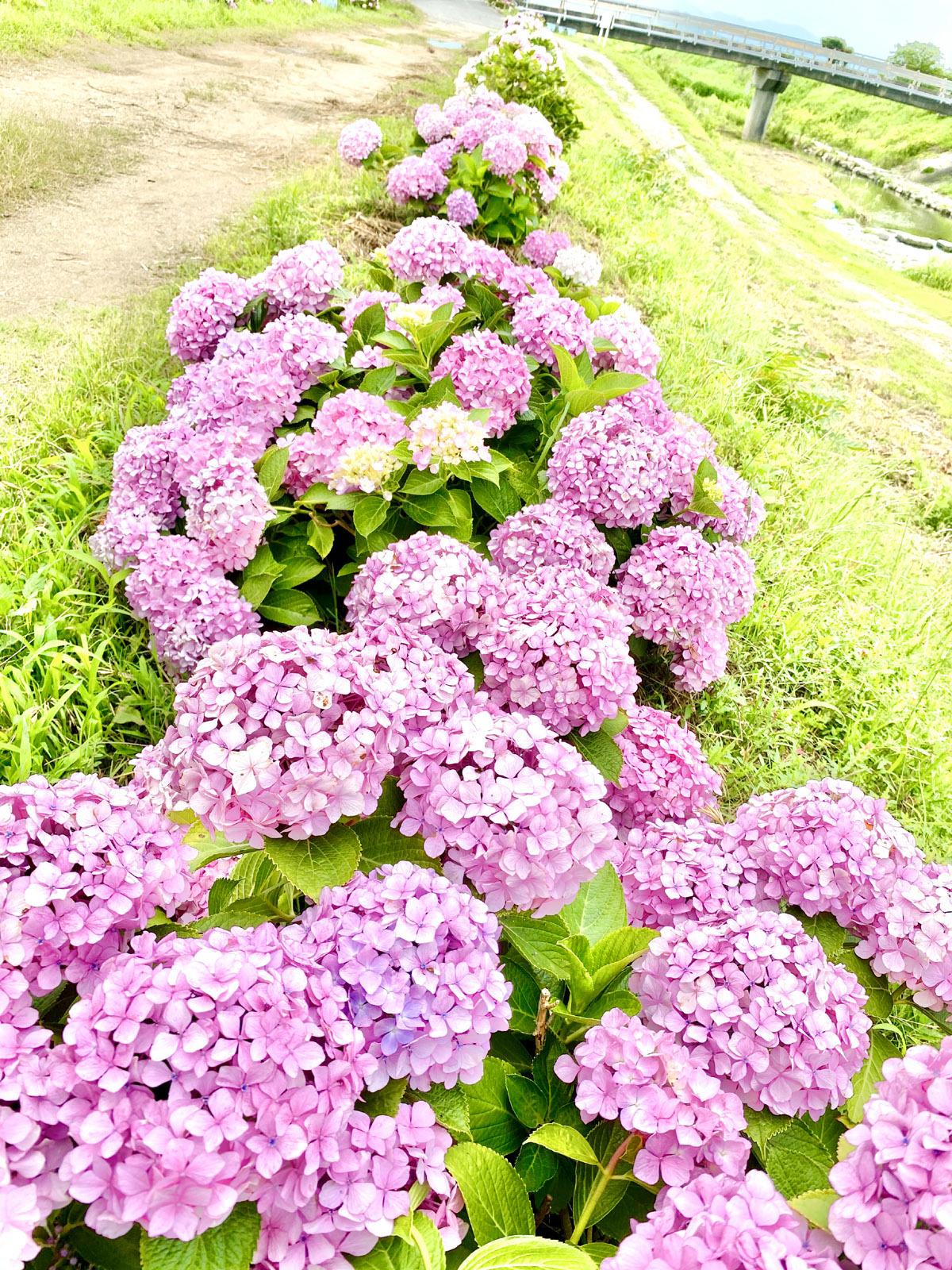 並んだ紫陽花