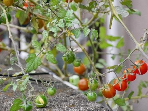 tomato201122-1