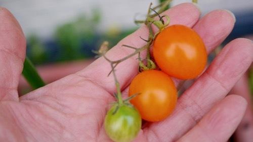 tomato201122-3
