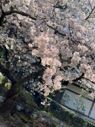 sakura-keage.jpg