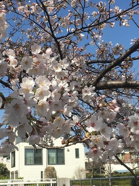 210505桜満開