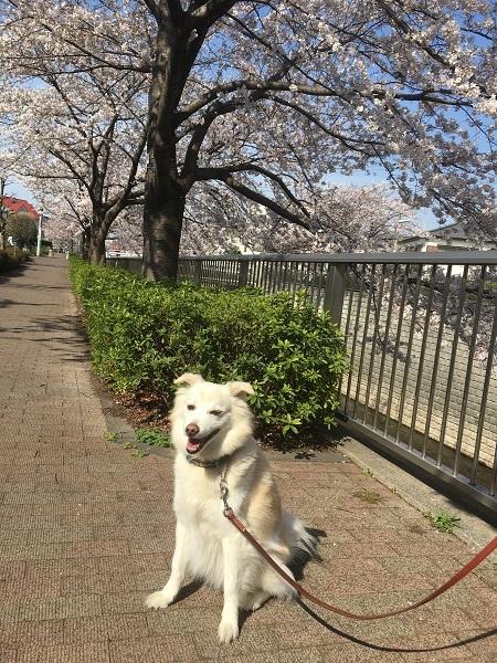 210505桜の頃河川敷