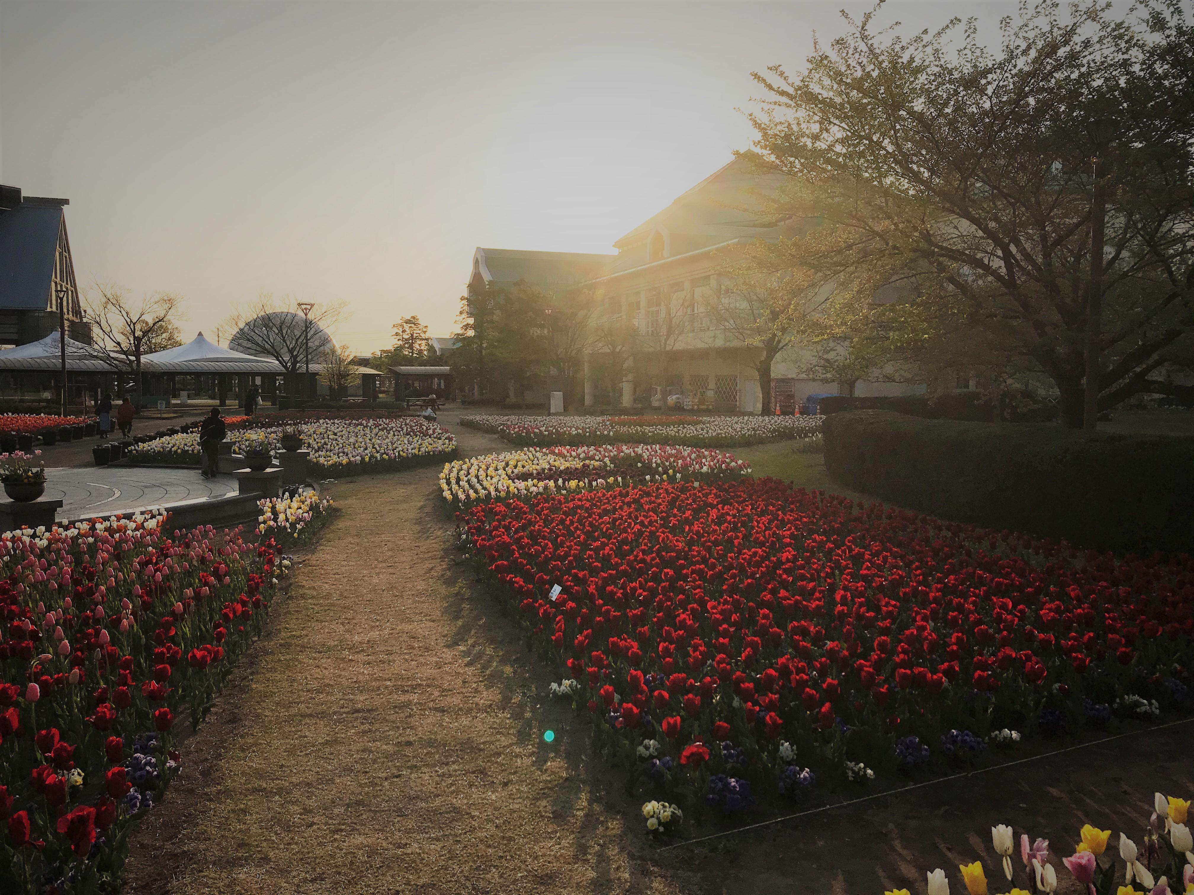 ふるさと村の西日に照らされる花畑