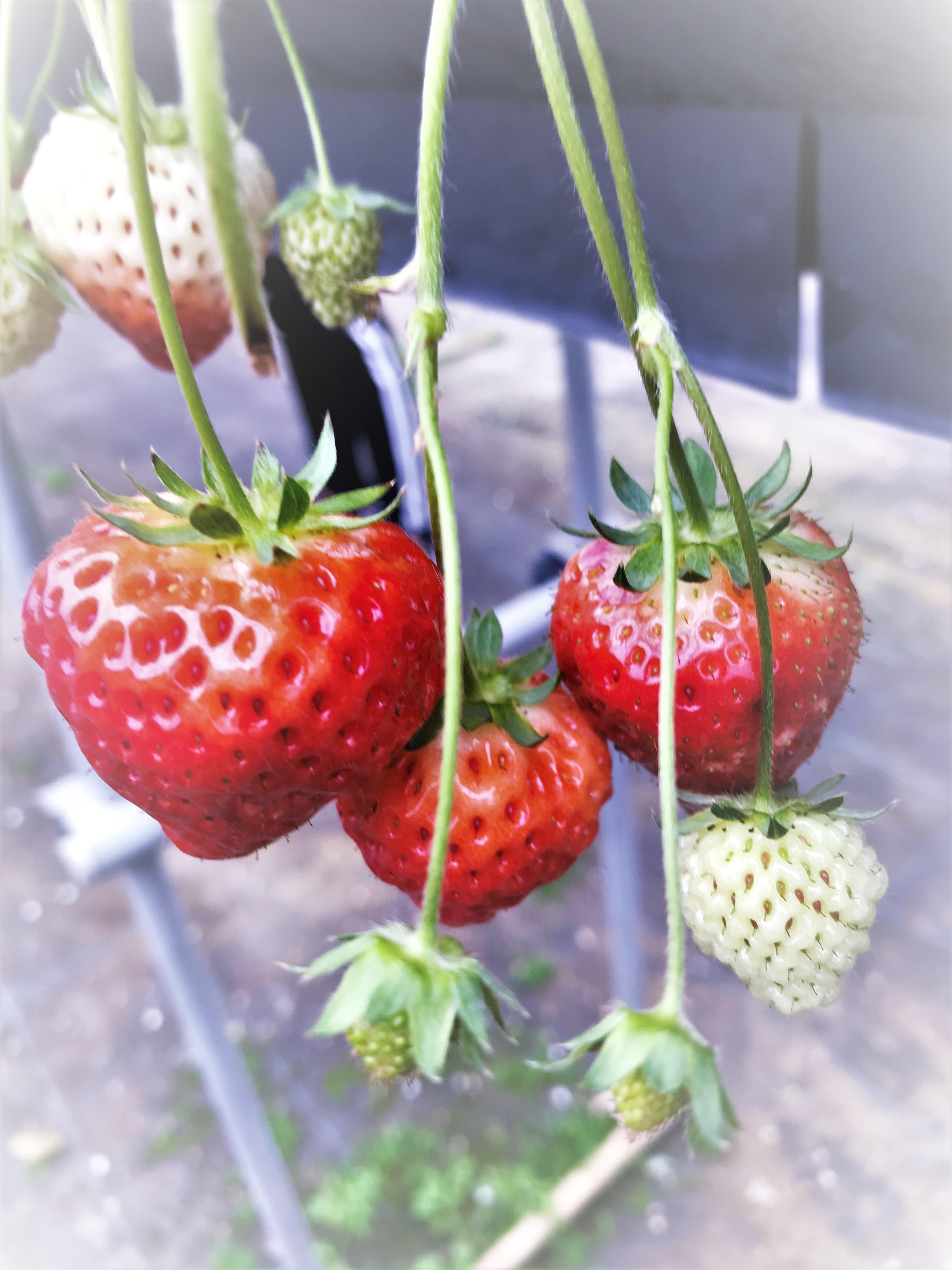ビニールハウスの苺