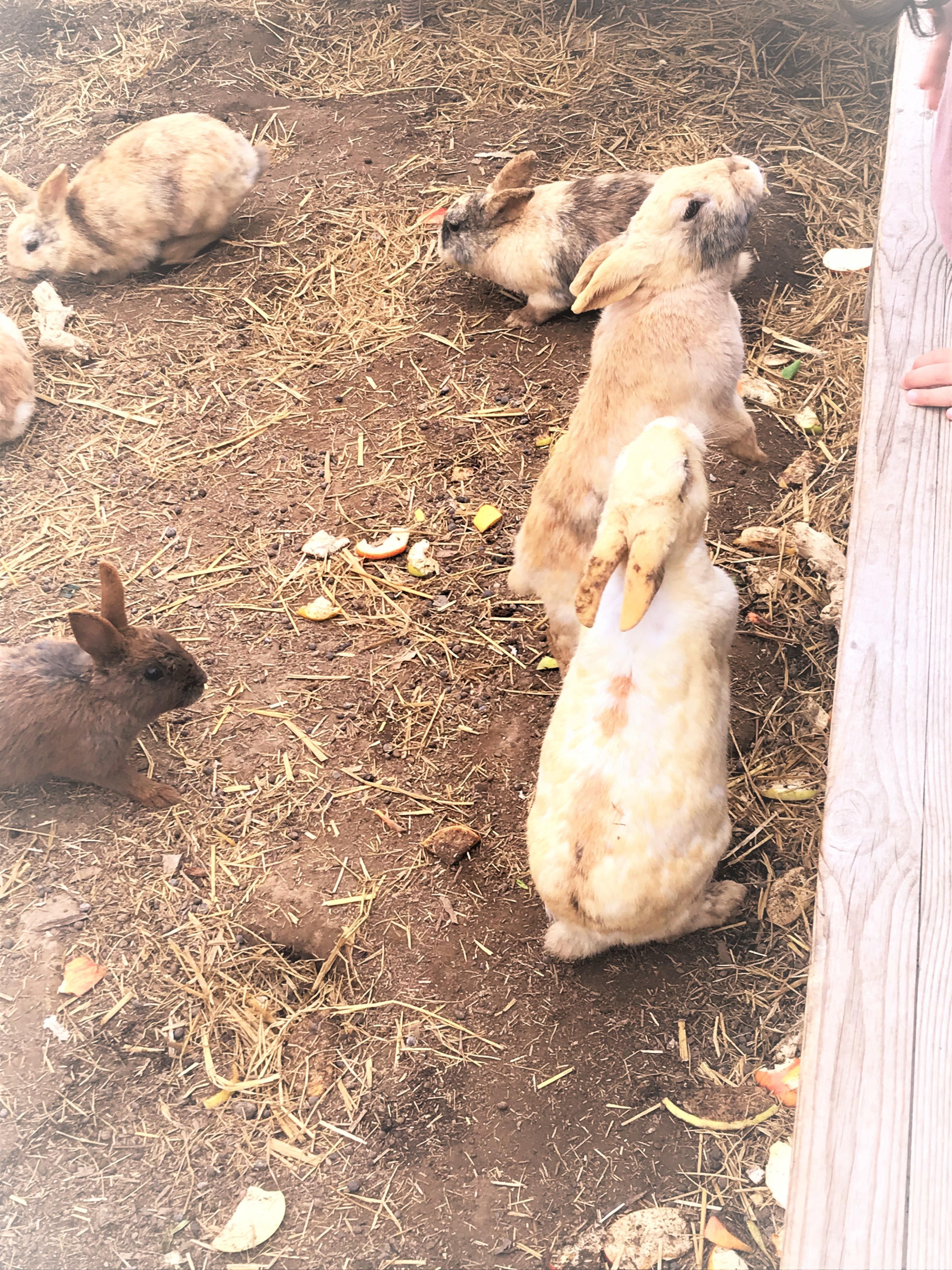 白根ガーデンのウサギ01