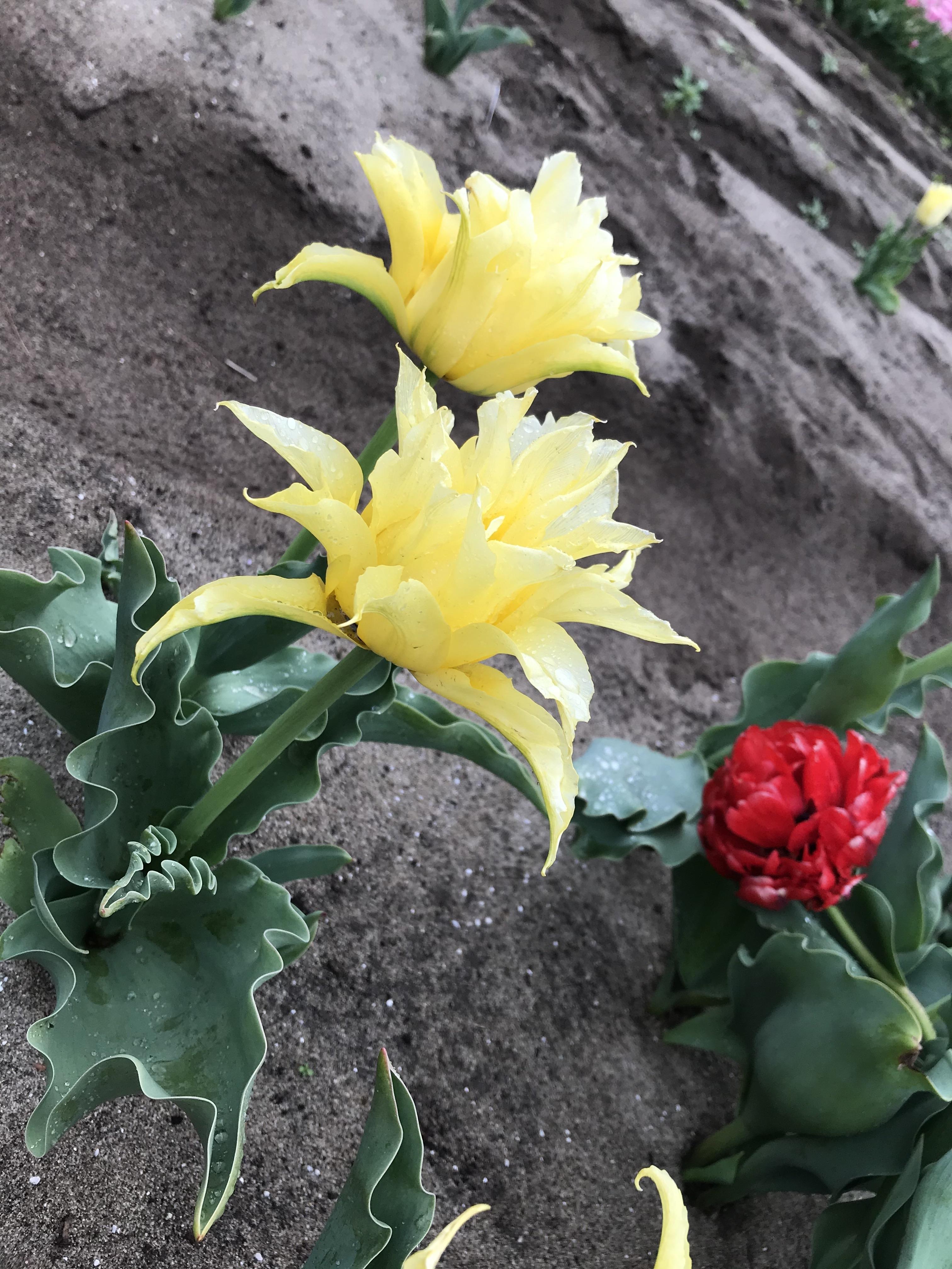 黄色い百合とバラのようなチューリップ