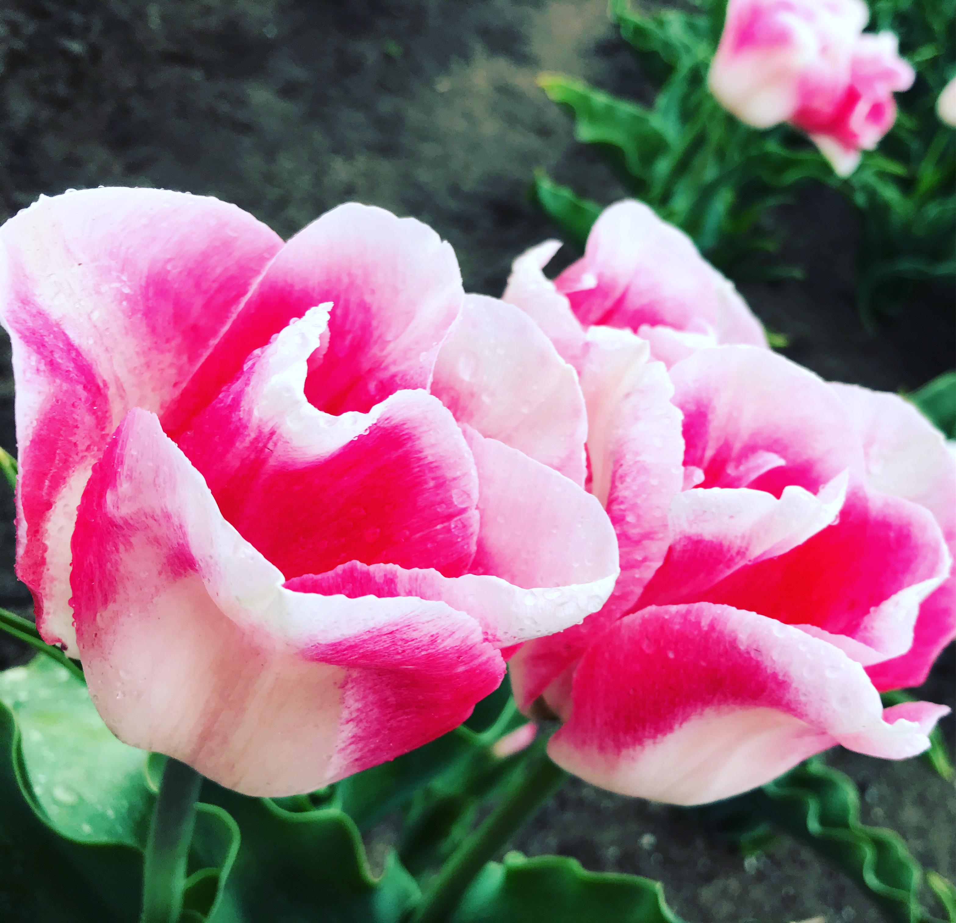 胎内チューリップフェスティバル・バラのようなチューリップ