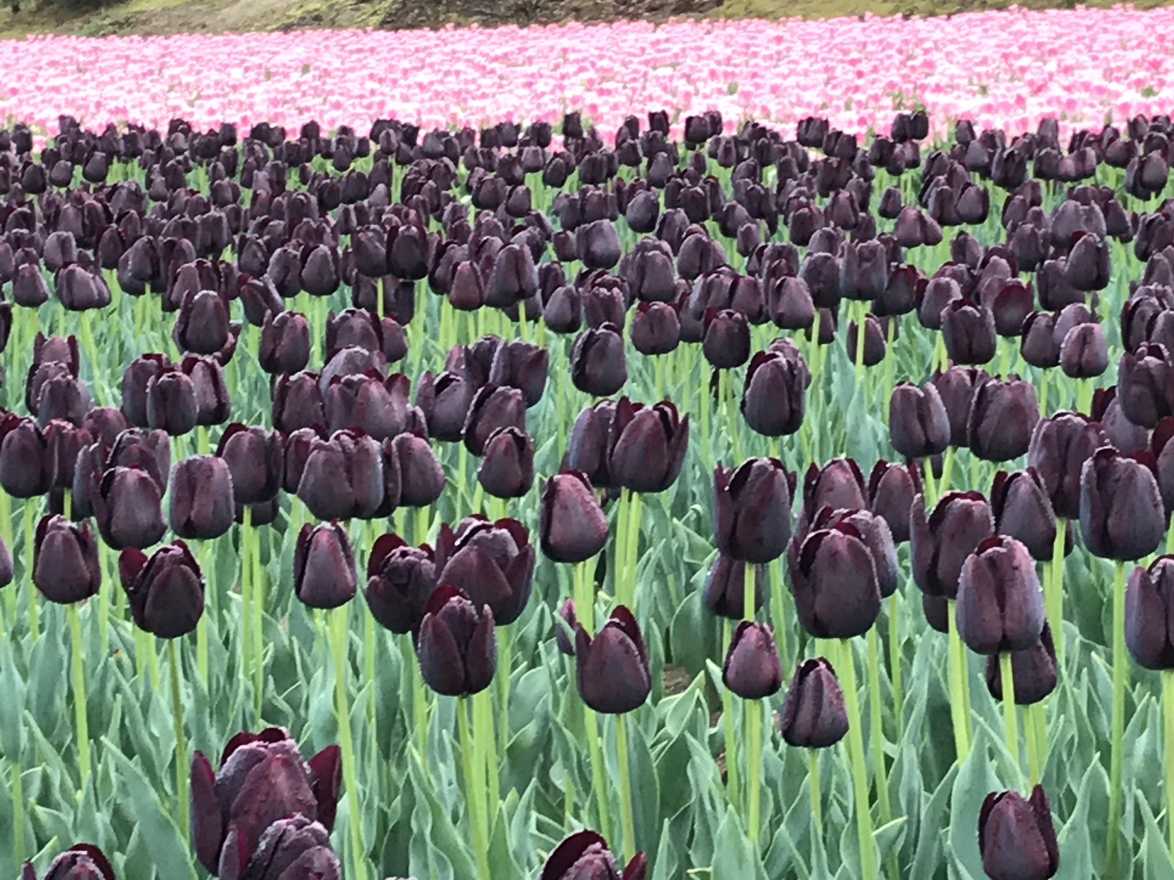 胎内チューリップフェスティバル・紫色のチューリップ