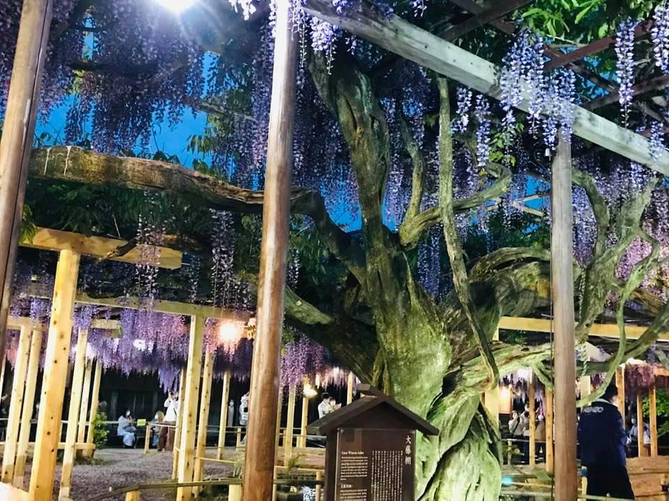 北方文化博物館の樹齢150年の大木08