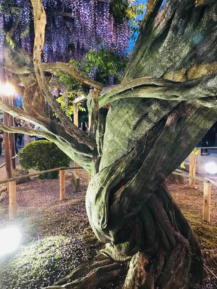 北方文化博物館の樹齢150年の大木09