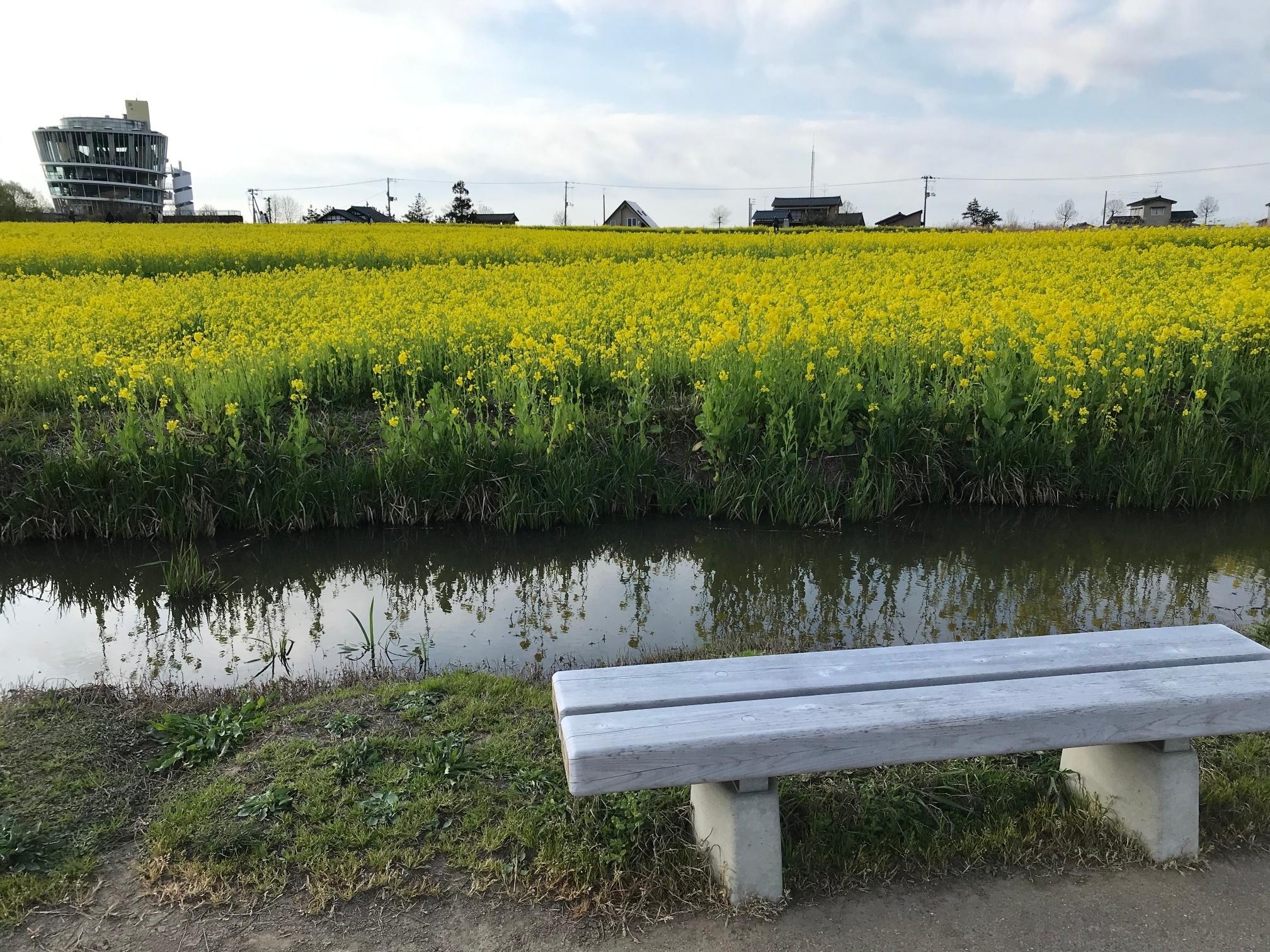 菜の花とベンチ