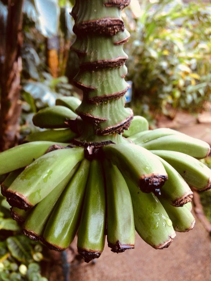 新潟県立植物園のバナナの木