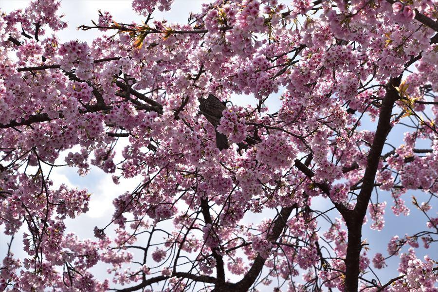 オアシス桜1