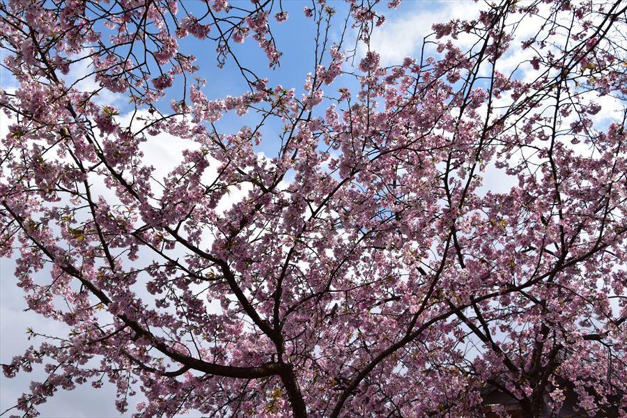 オアシス桜2