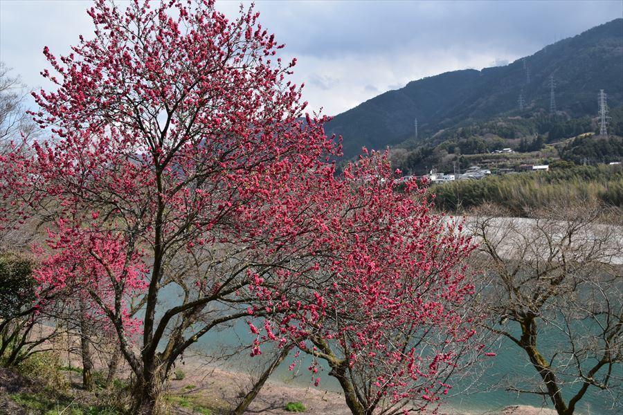 美濃田桜1
